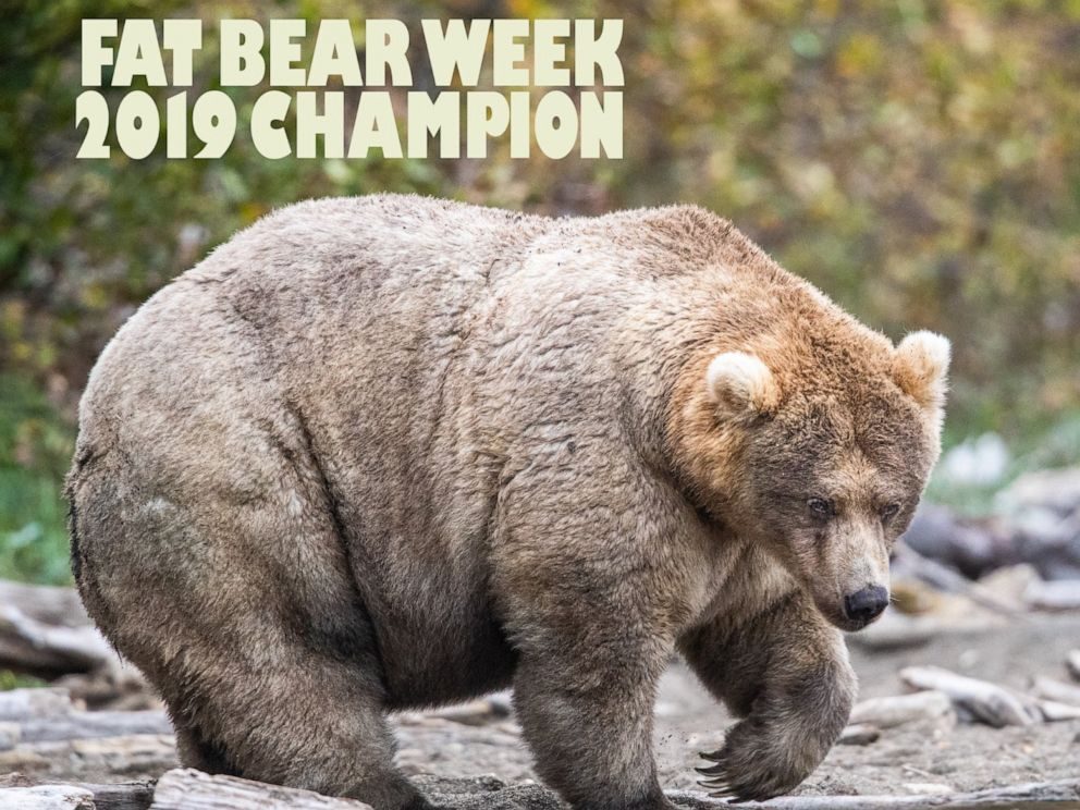 Meet 435 Holly, Queen of the Katmai Fat Bears