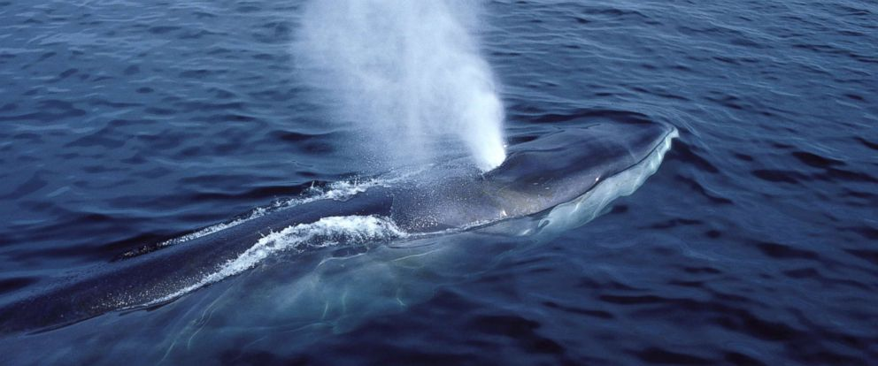 PHOTO: A fin whale breaches in the Gulf of Maine in the North Atlantic Ocean in 2016.
