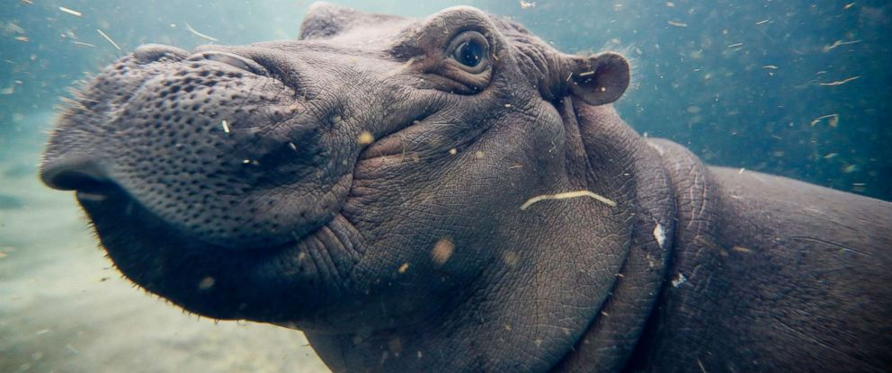 PHOTO: Fiona, a Nile hippopotamus plays in her enclosure at the Cincinnati Zoo & Botanical Garden, in Cincinnati, Nov. 2, 2017.