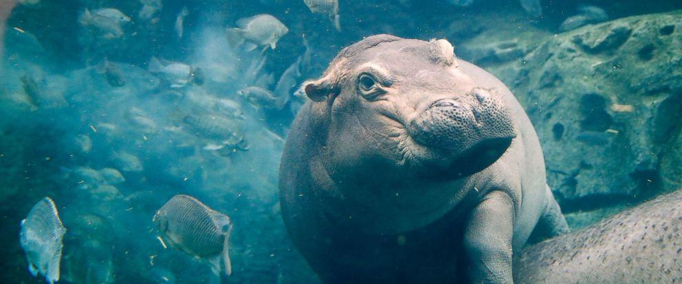 PHOTO: Fiona, a baby Nile Hippopotamus swims in her enclosure at the Cincinnati Zoo & Botanical Garden, in Cincinnati, June 26, 2018.