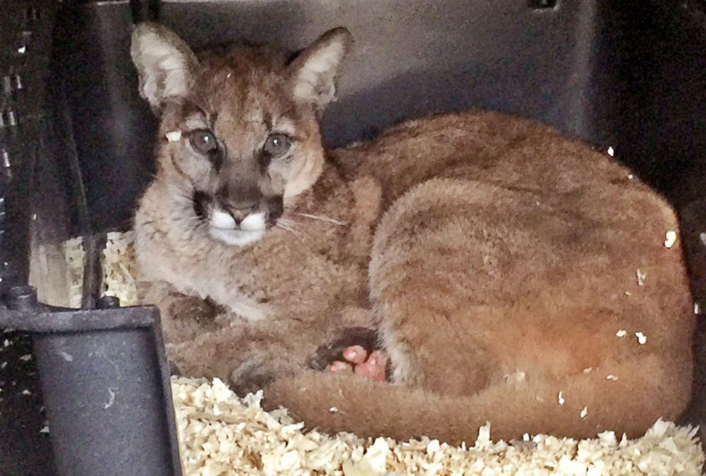 PHOTO: A young male mountain lion recuperates from burns received during the Thomas Fire in Ventura County, Calif, Dec. 2017.