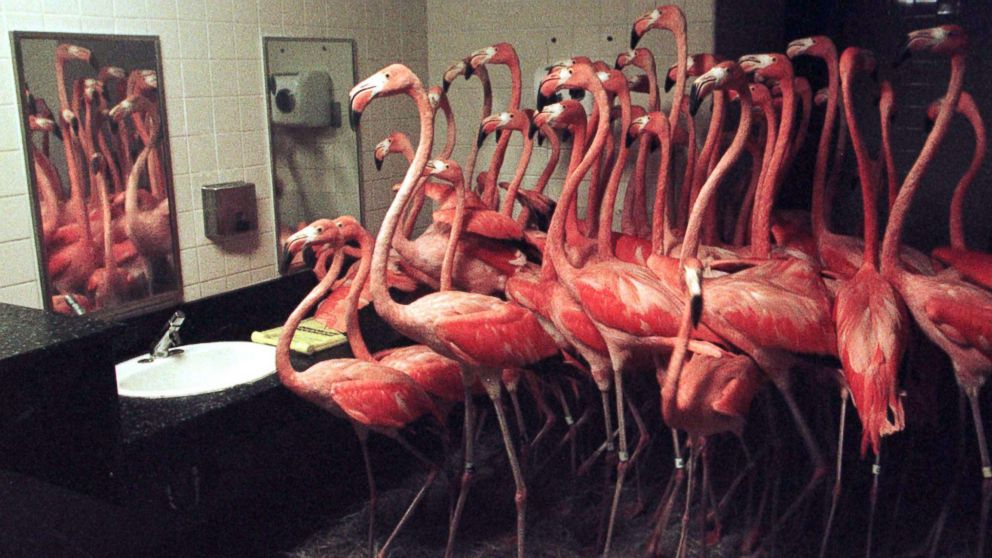 Flamingos crowd together in a restroom at Miami's Metro Zoo, Sept. 25, 1998. More than fifty of the pink birds were herded into the facility for protection from Hurricane Georges, which made landfall in the Florida Keys. The zoo lost most of its birds in a 1992 hurricane, so officials moved the birds as a precaution.
