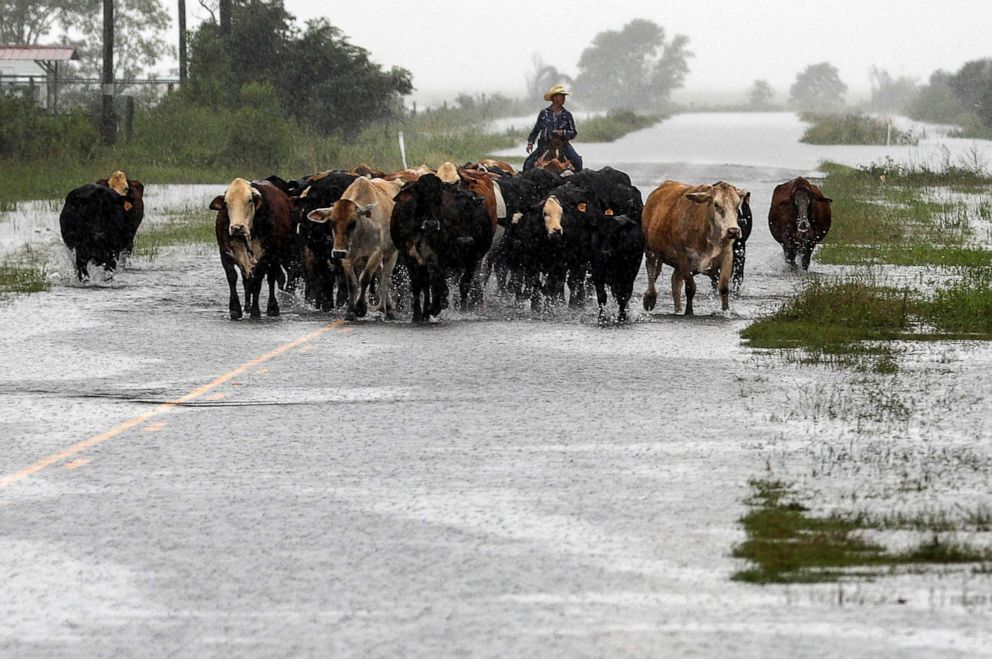 PHOTO: Jim Dunagan moves his cattle to higher ground as remnants of Tropical Depression Imelda flood parts of Southeast Texas, Thursday, Sept. 19, 2019, near Nome, Texas.