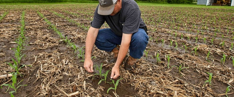 PHOTO: In this May 29, 2019 photo, Jeff Jorgenson examines young corn plants on a partially flooded field he farms near Shenandoah, Iowa.