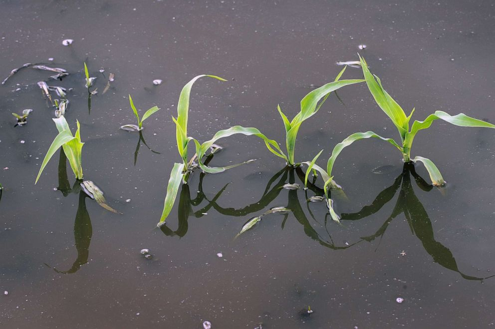 PHOTO: Corn grows in a saturated farm field on May 29, 2019 near Emden, Ill.