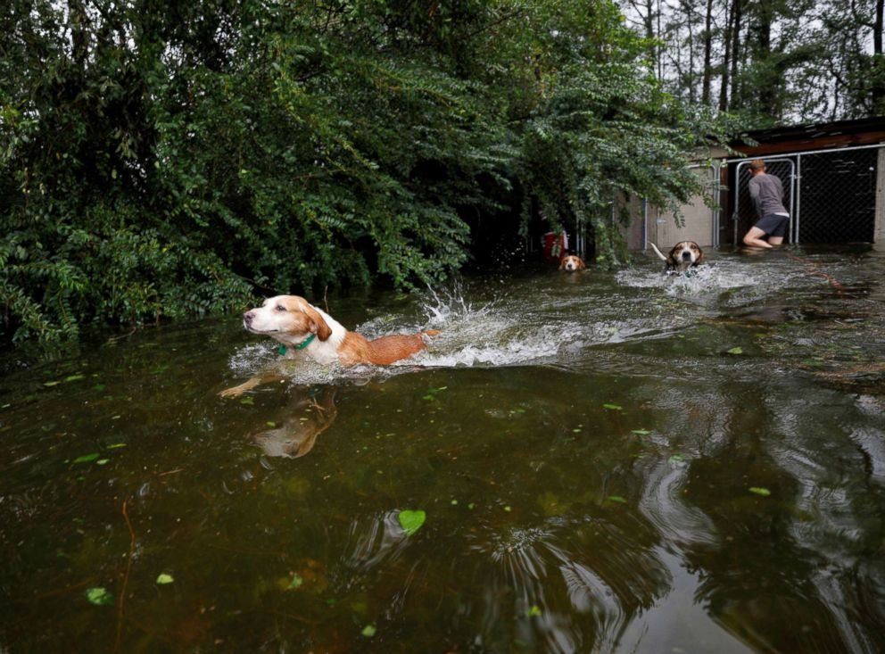 PHOTO: Panicked dogs that were left caged by an owner who fled rising flood waters in the aftermath of Hurricane Florence, swim free after their release in Leland, N.C., Sept. 16, 2018.