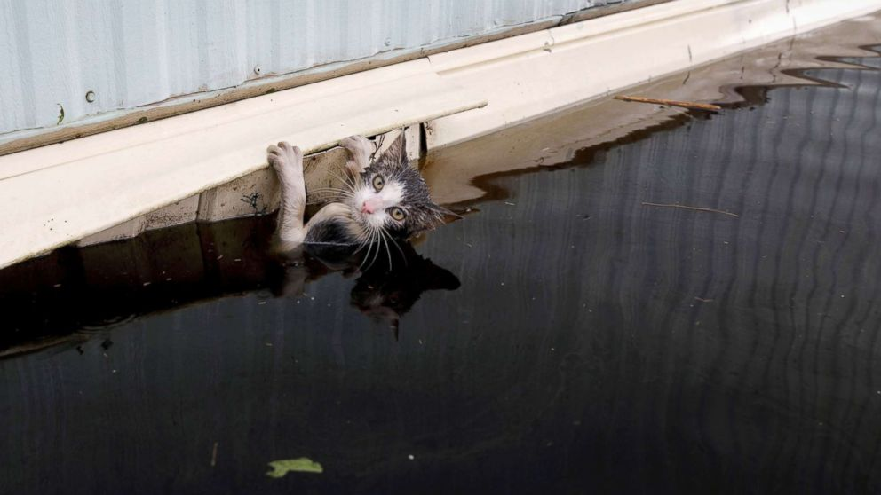 A cat clings to the side of a trailer in the flood waters before it was saved as the Northeast Cape Fear River overflowed its banks in the aftermath Hurricane Florence in Burgaw, N.C., Sept. 17, 2018.