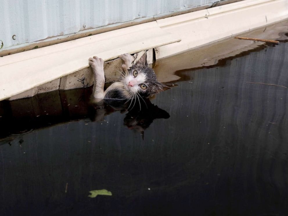 PHOTO: A cat clings to the side of a trailer in the flood waters before it was saved as the Northeast Cape Fear River overflowed its banks in the aftermath Hurricane Florence in Burgaw, N.C., Sept. 17, 2018.