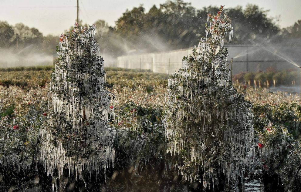 PHOTO: A thin layer of ice covers ornamental plants, Jan. 4, 2018, in Plant City, Fla. Growers spray water on the plants to help protect them from extreme cold temperatures.