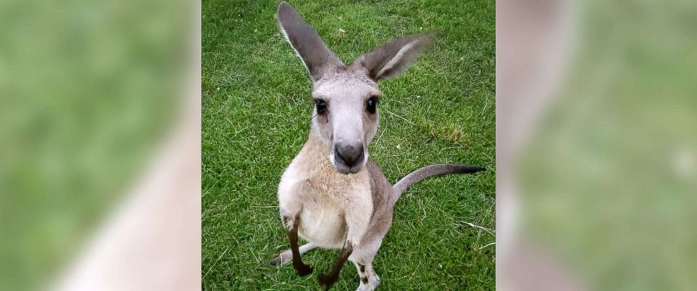 PHOTO: The Florida Fish and Wildlife Conservation Commission are using a drone to find a grey kangaroo, who ran away earlier this month from a Jupiter Farms subdivision where he lived with six other kangaroos.