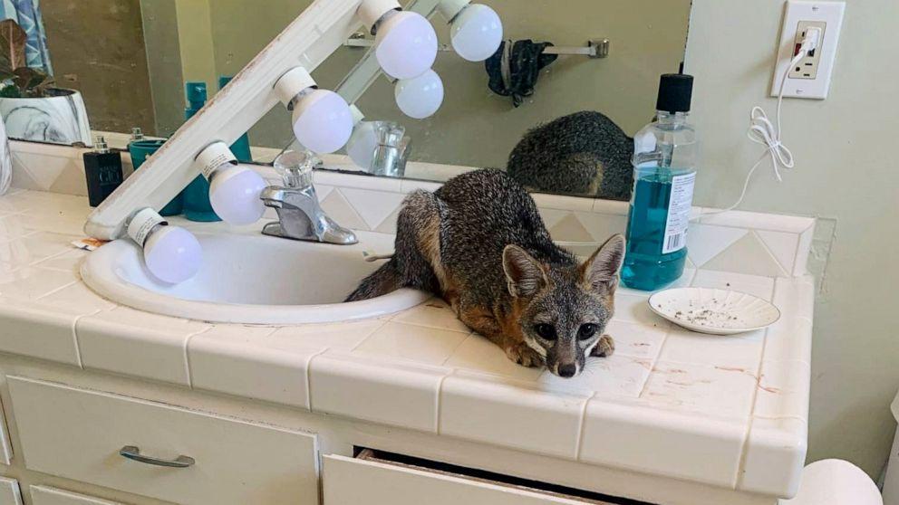 Fox breaks in, spends night in home