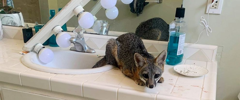 PHOTO: Residents in San Diego discovered a fox that broke into their home and spent the night in their bathroom on Oct. 14, 2019.