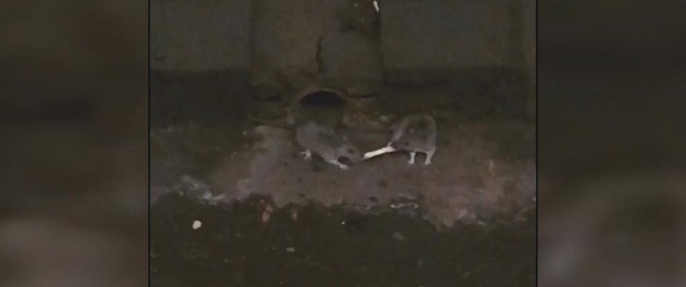 PHOTO: Two rats were seen battling it out for a french fry in a New York City subway.