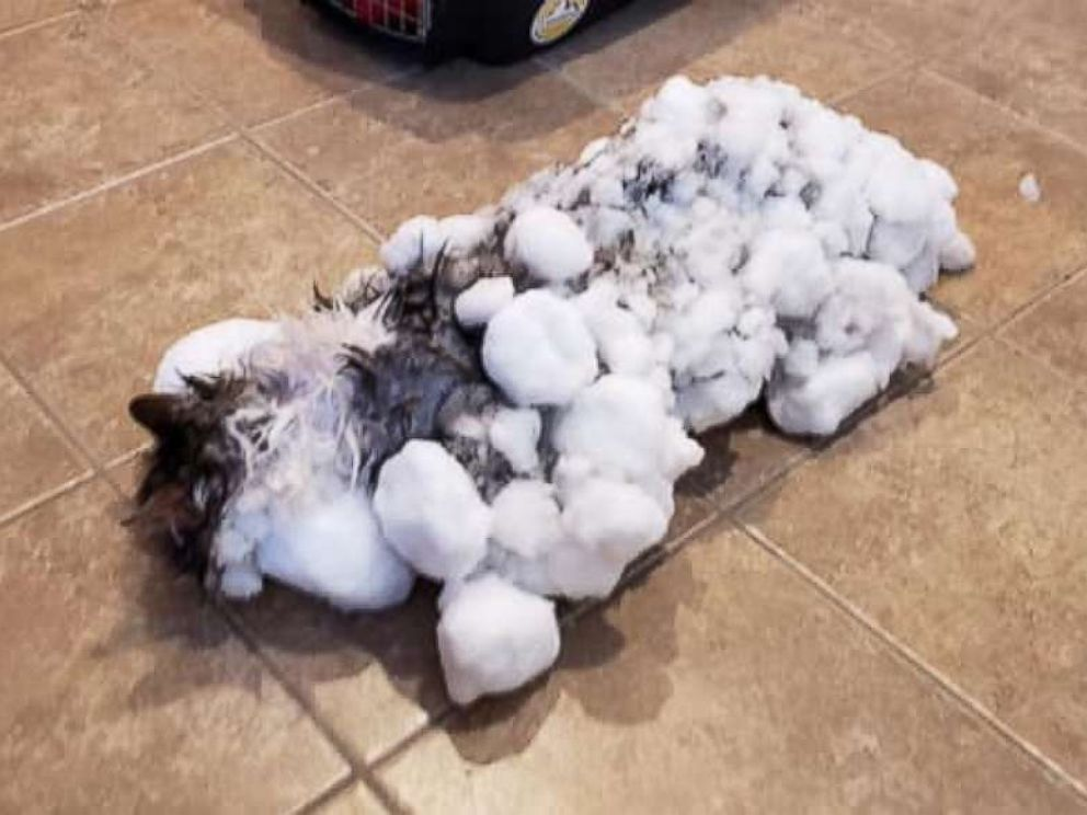 PHOTO: Fluffy was found frozen solid in a snow bank in Kalispell, Montana, on Jan. 31, 2019. The cat has made an amazing, full recovery.