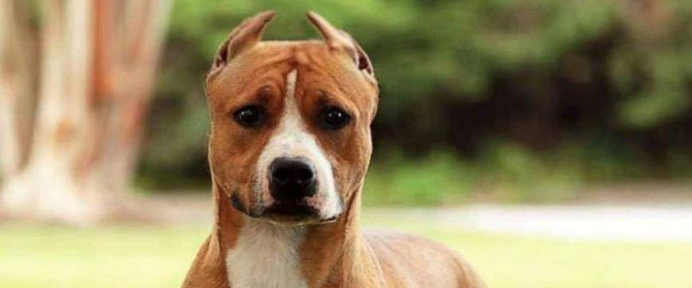 PHOTO: The American Staffordshire named Gale is seen here in an undated file photo.