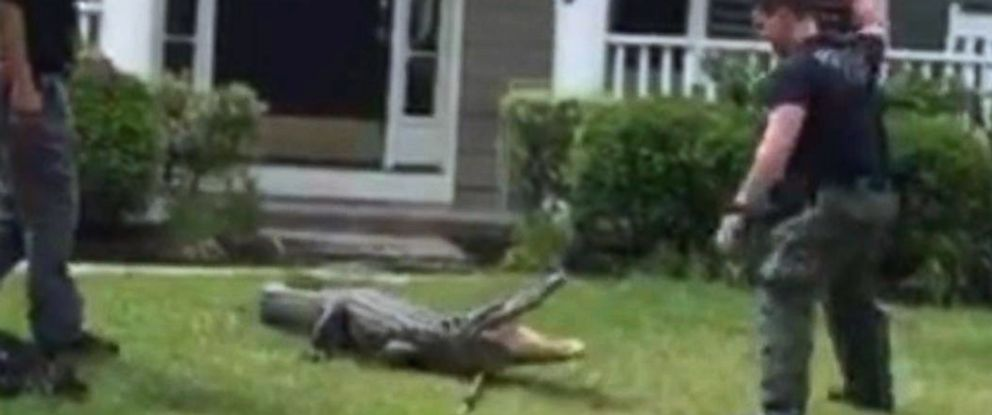 PHOTO: An alligator put up a fight before it was captured on the front porch of a home in Mount Pleasant, S.C.