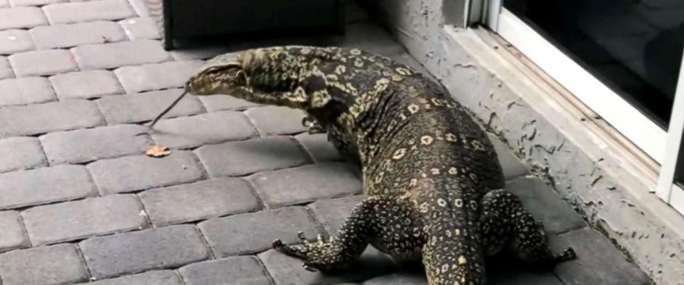 U S Lizard Giant lizard te...