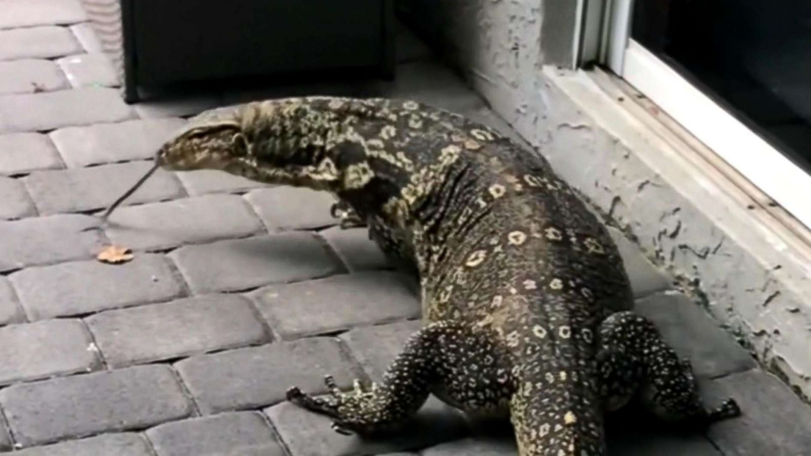 Lizard In My Backyard giant lizard terrorizes florida family after moving into their