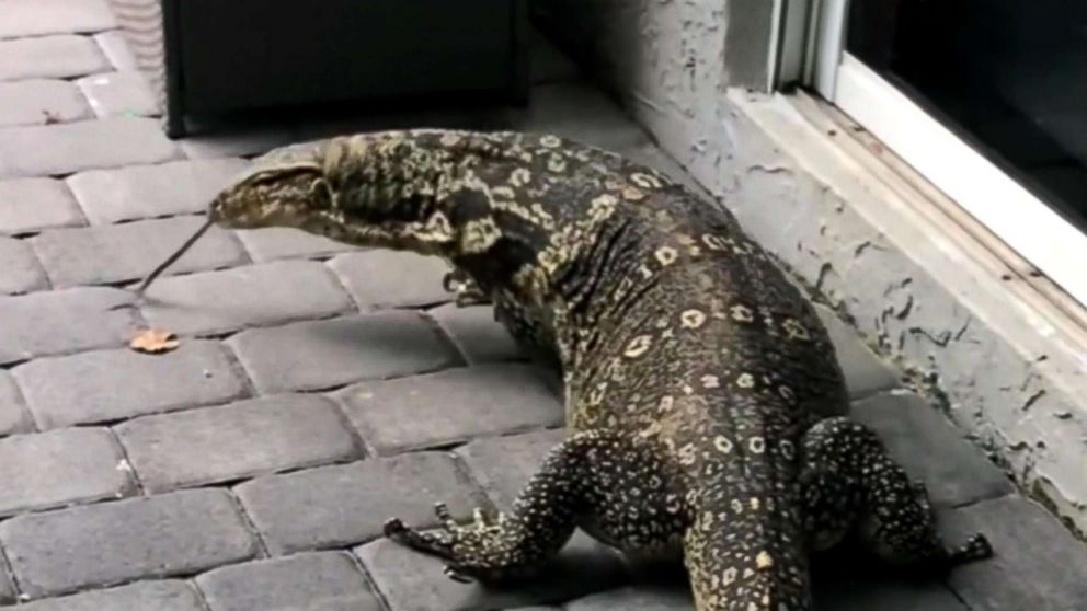 Giant lizard terrorizes Florida family after moving into their backyard