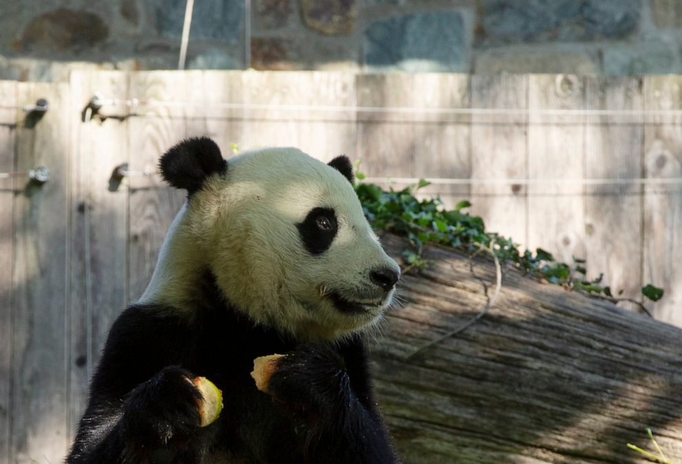PHOTO: Giant panda Bei Bei eats his 4th birthday cake at the Smithsonian National Zoo in Washington, D.C., on Aug. 22, 2019.
