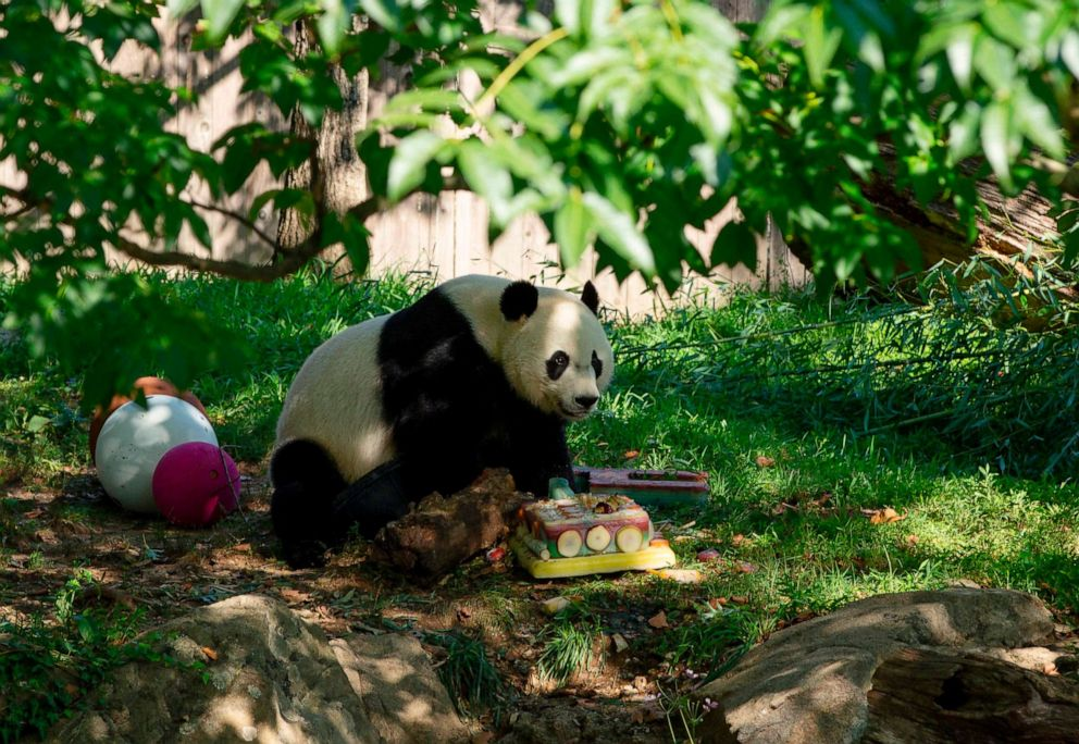 PHOTO: Giant panda Bei Bei walks by his frozen 4th birthday cake at the Smithsonian National Zoo in Washington, D.C., on Aug. 22, 2019.