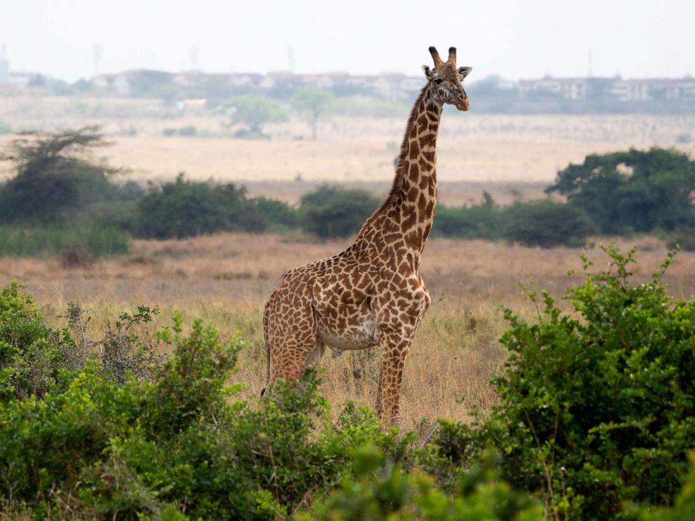 PHOTO: A giraffe is seen at the Nairobi National Park in Nairobi on Oct. 5, 2018.