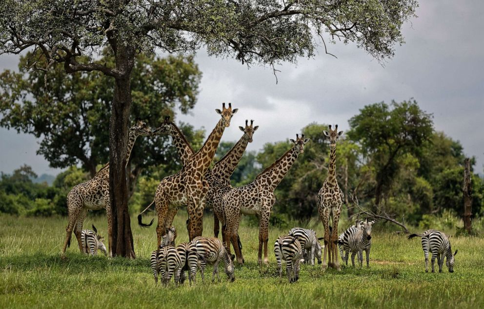 PHOTO: Giraffes and zebras congregate under the shade of a tree in the afternoon in Mikumi National Park, Tanzania, March 20, 2018.
