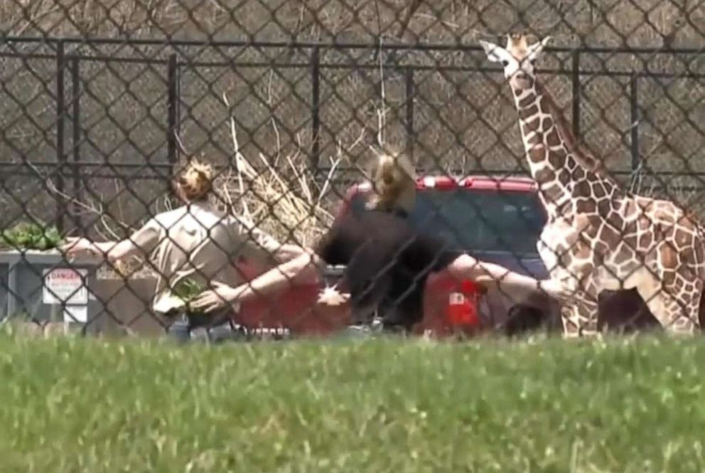Young giraffe escapes the zoo