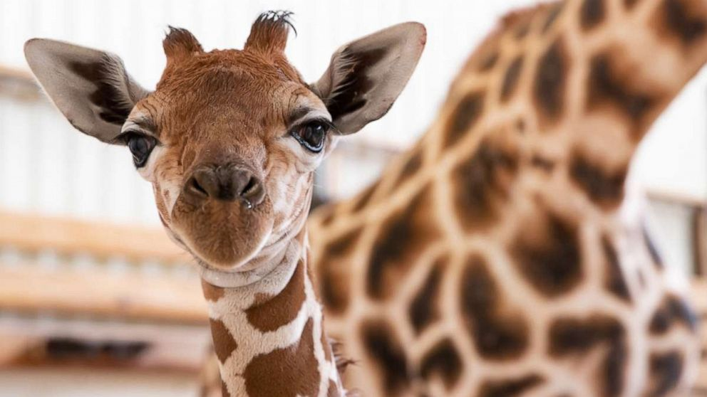 Woodland Park Zoo Welcomes New Baby Giraffe And It S A Boy
