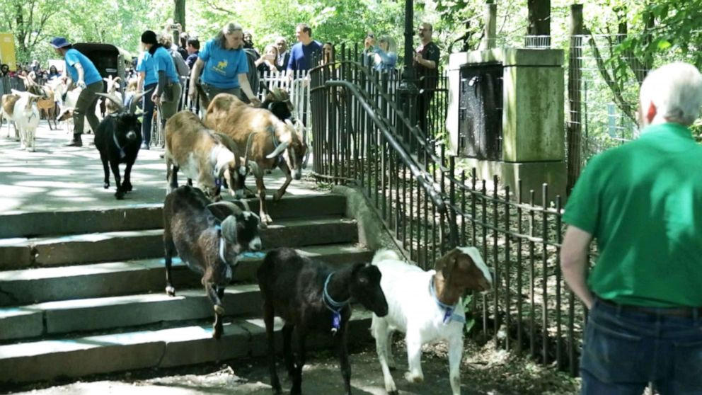 PHOTO: The goats started their stay in the park on May 21, 2019, and are expected to be there through the end of August.