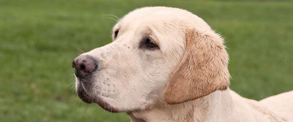 PHOTO: An undated stock photo of a golden Labrador.