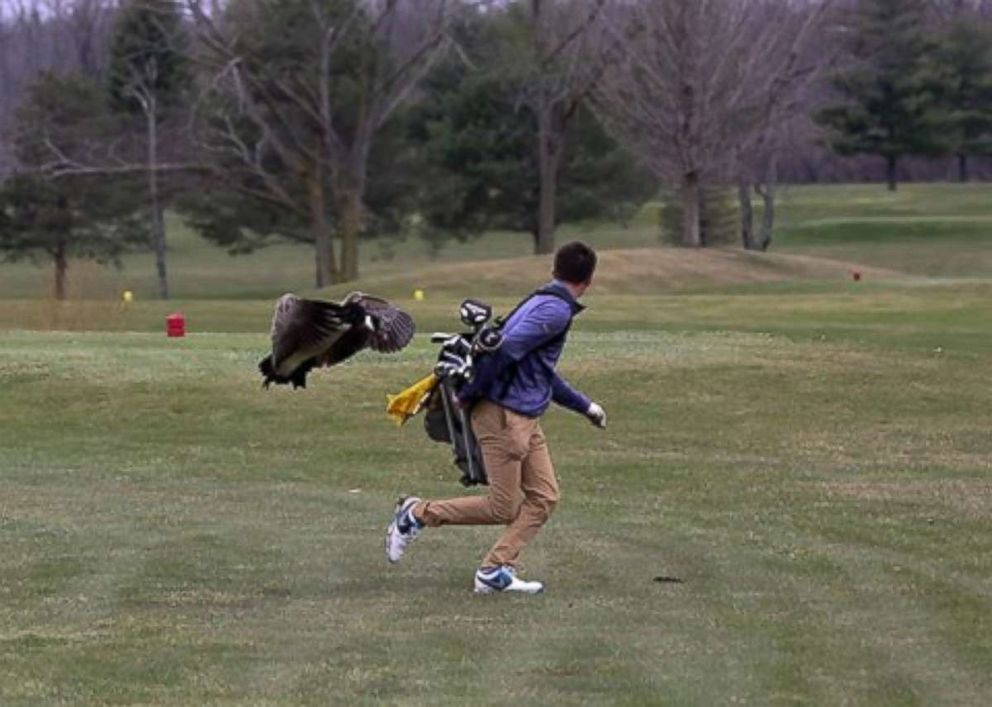 One unlucky golfer ran into an angry goose in a high school tournament in Adrian, Michigan, on Saturday, April 21, 2018.