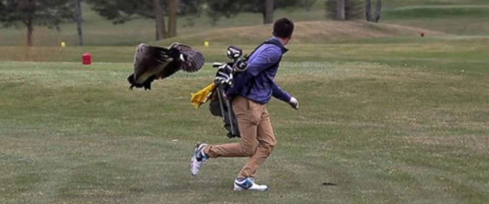 One unlucky golfer became more familiar with a goose than any birdies or eagles on a golf course in Adrian, Michigan, on Saturday, April 21, 2018.