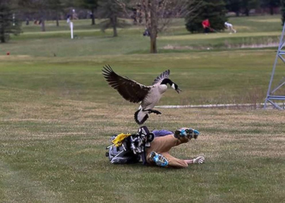 One unlucky golfer ran into a very angry goose on the golf course in Adrian, Michigan, on Saturday, April 21, 2018.