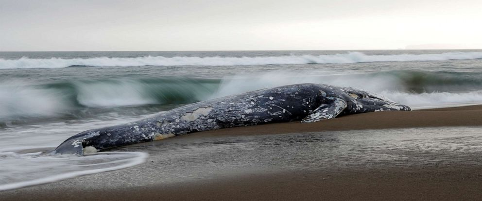 PHOTO: A dead gray whale rests on Limantour Beach at Point Reyes National Seashore in Point Reyes Station, north of San Francisco, May 23, 2019.