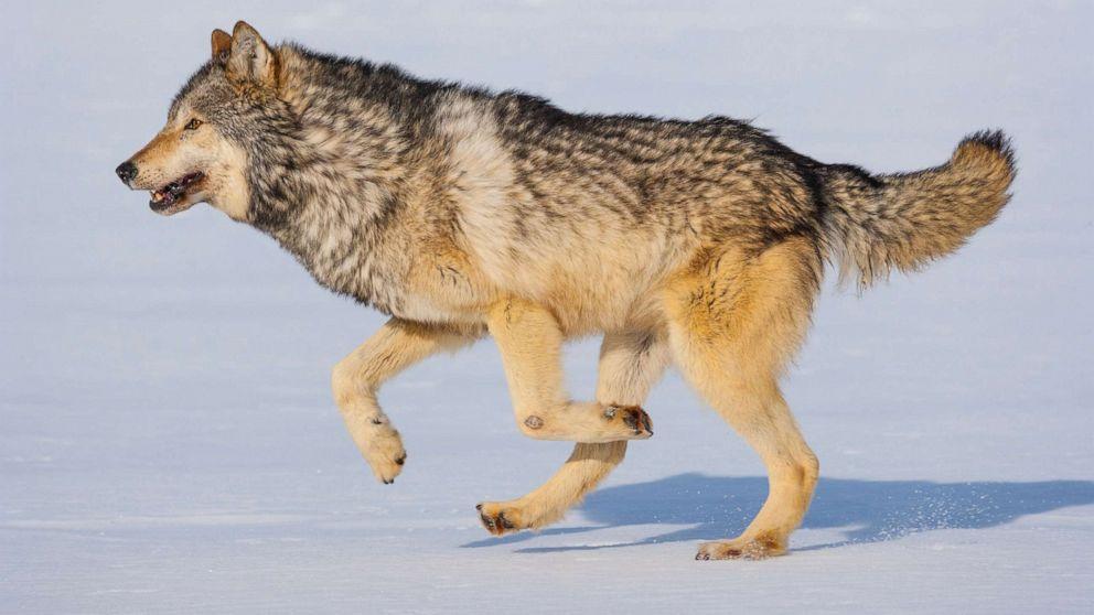 Gray wolf ' s Schicksal entschieden werden kann von den Wählern in diesem Zustand