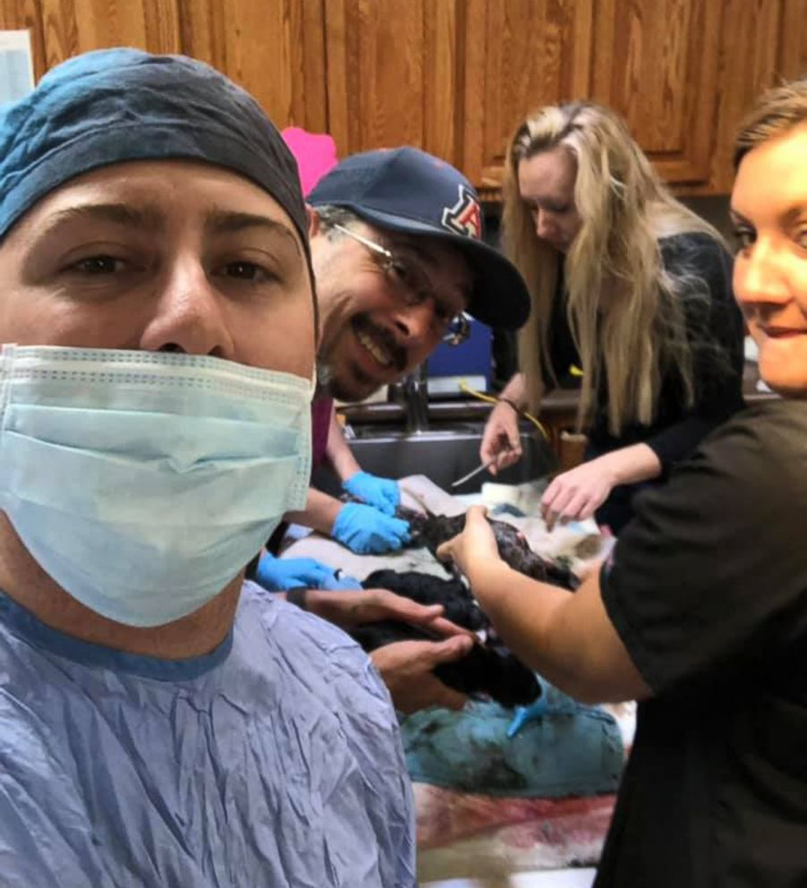 PHOTO: People assist with the delivery of 19 Great Dane puppies by cesarean section at the Kingman Animal Hospital in Kingman, Ariz., on Feb. 23, 2019.
