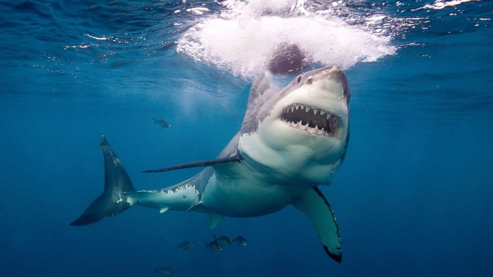 A great white shark is pictured in Neptune Island, Australia, in this undated stock photo.