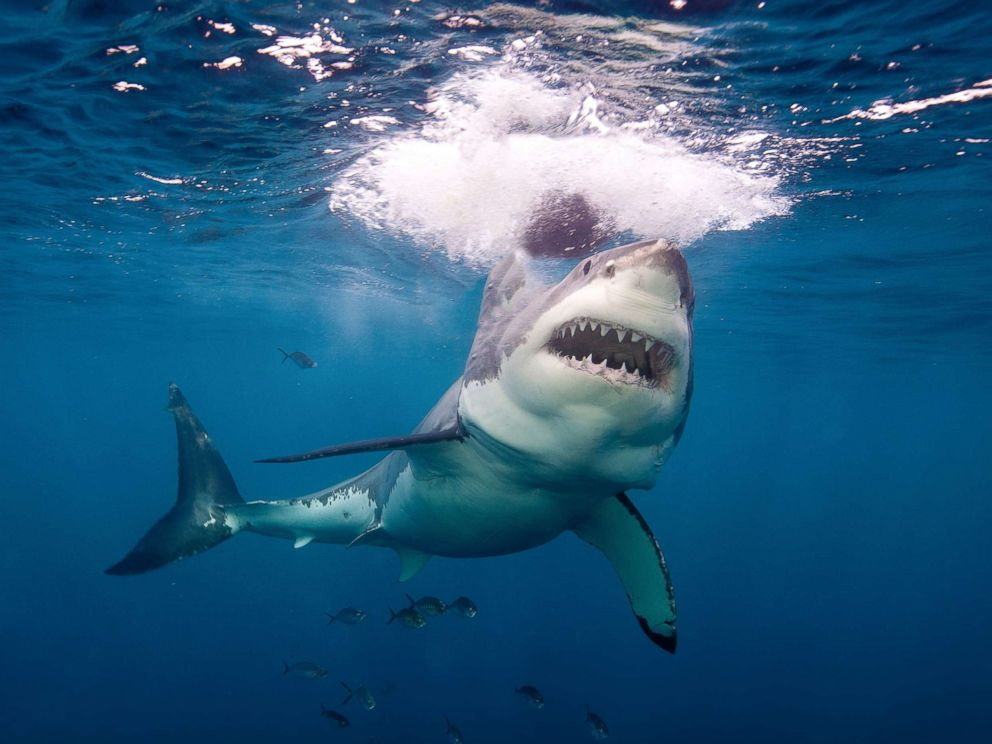 PHOTO: A great white shark is pictured in Neptune Island, Australia, in this undated stock photo.