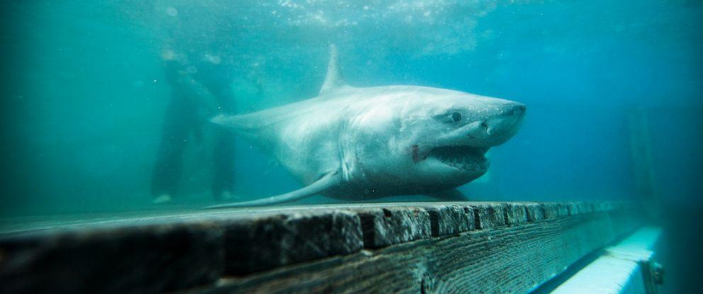 PHOTO: On May 20, 2019, Ocearch announced that a nine-foot-eight-inch white shark that they are tracking, pictured here in October 2018, is in the Long Island Sound.