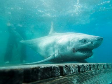 Great white shark spotted in Long Island Sound for first time ever: Researchers