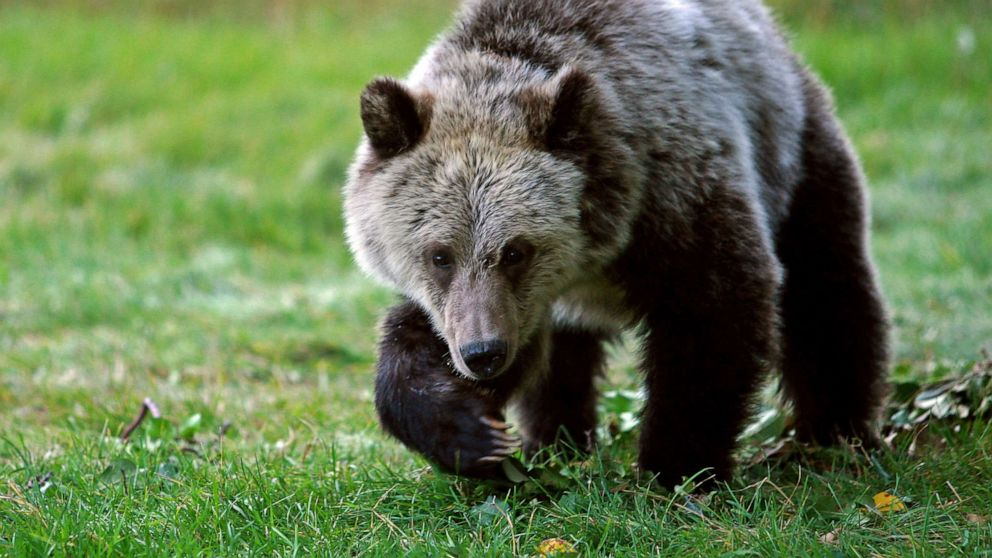 Grizzly bear attacks 3 hunters in separate incidents at national forest thumbnail