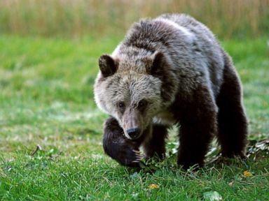 Grizzly bear attacks 3 hunters in separate incidents at national forest
