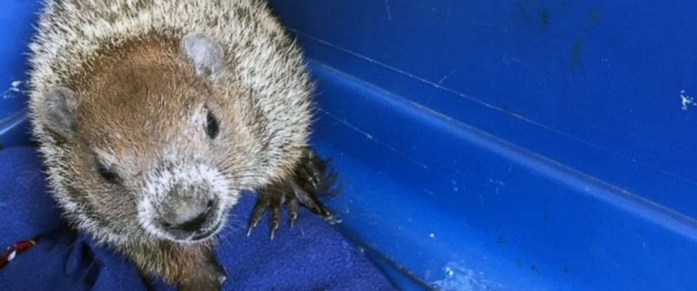 PHOTO: A groundhog is found in the engine compartment of a vehicle, Dedham, Mass., July 2, 2019.