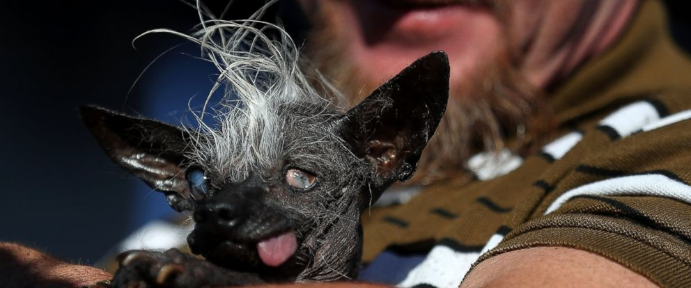 PHOTO: Jason Wurtz holds his dog Sweepee Rambo after winning the 2016 Worlds Ugliest Dog contest at the Sonoma-Marin Fair on June 24, 2016 in Petaluma, California. Sweepee Rambo, a blind Chinese Crested dog, won the annual Worlds Ugliest Dog contest.
