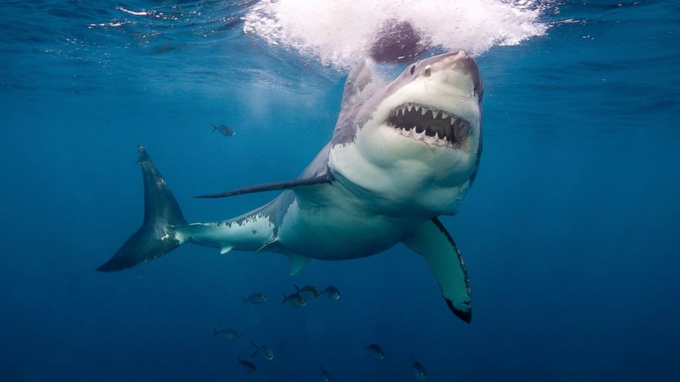 How old do great white sharks live - answers.com