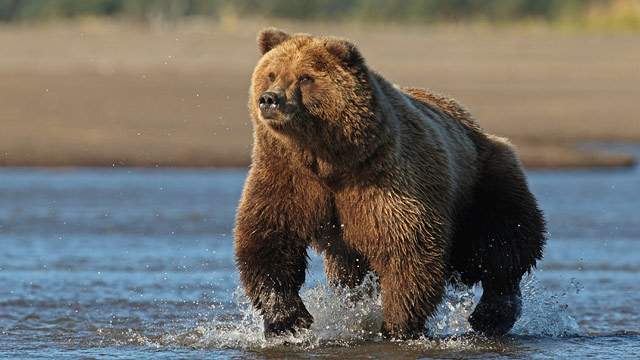 PHOTO: Alaskan Brown Bear