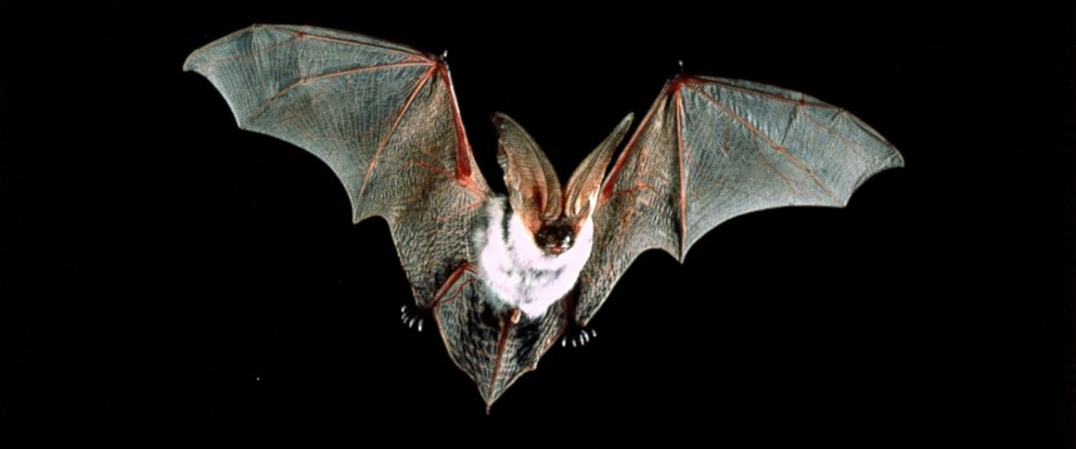 PHOTO: A spotted bat in flight.