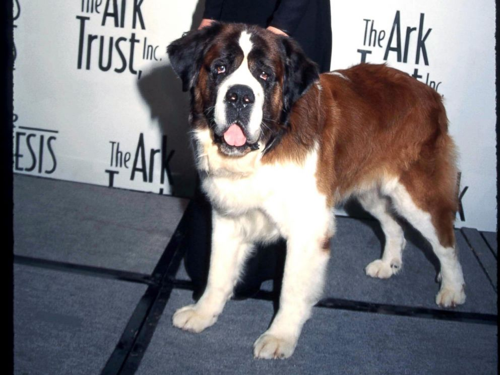 PHOTO: Beethoven the dog appears here with Bonnie Hunt at the Genesis Awards April 5, 1997 in Los Angeles, Calif.