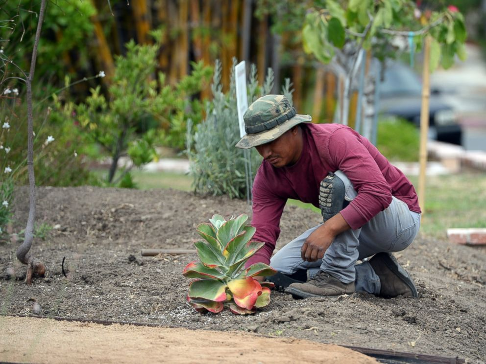 PHOTO: Landscaper David Puac installs a succulent plant during the installation of a drought-tolerant landscape in the front yard of Larry and Barbara Halls home in the San Fernando Valley area of the city of Los Angeles, July 17, 2014.